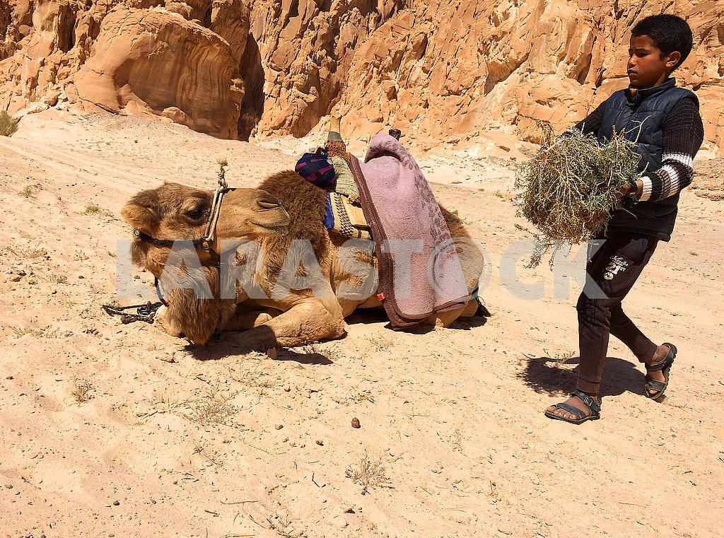 Мальчик бедуин несет верблюду корм — Изображение 75955