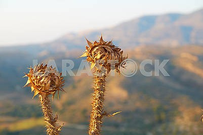 Thorn flower in desert