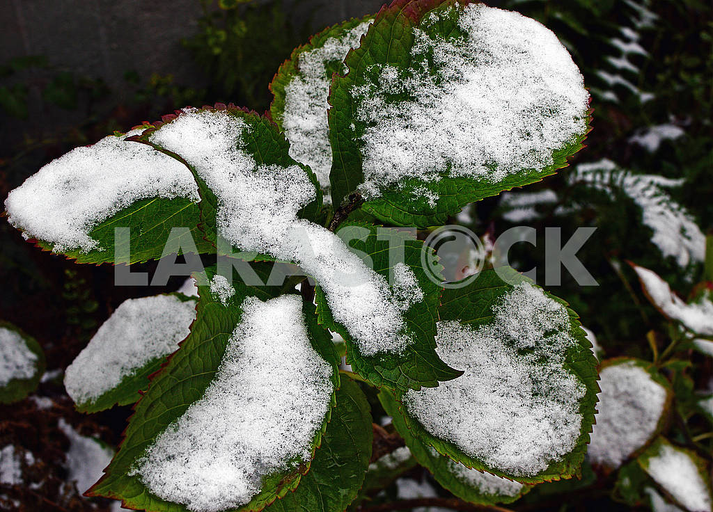 The green leaves of hydrangea are covered with the snow — Image 76723