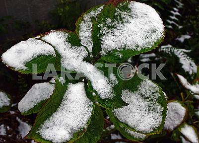 Зелені листки гортензії покриті першим снігом