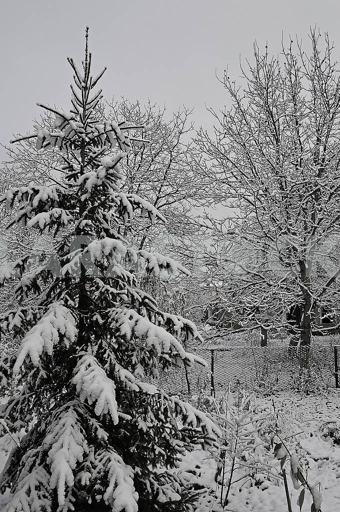 Spruce and deciduous trees are covered with snow — Image 76725