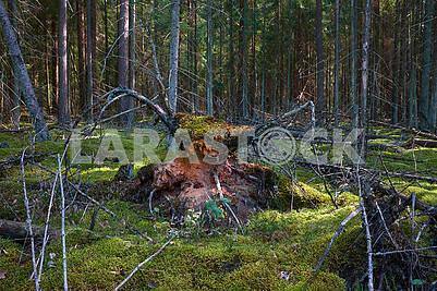 Мистическая фигура лешего в лесу