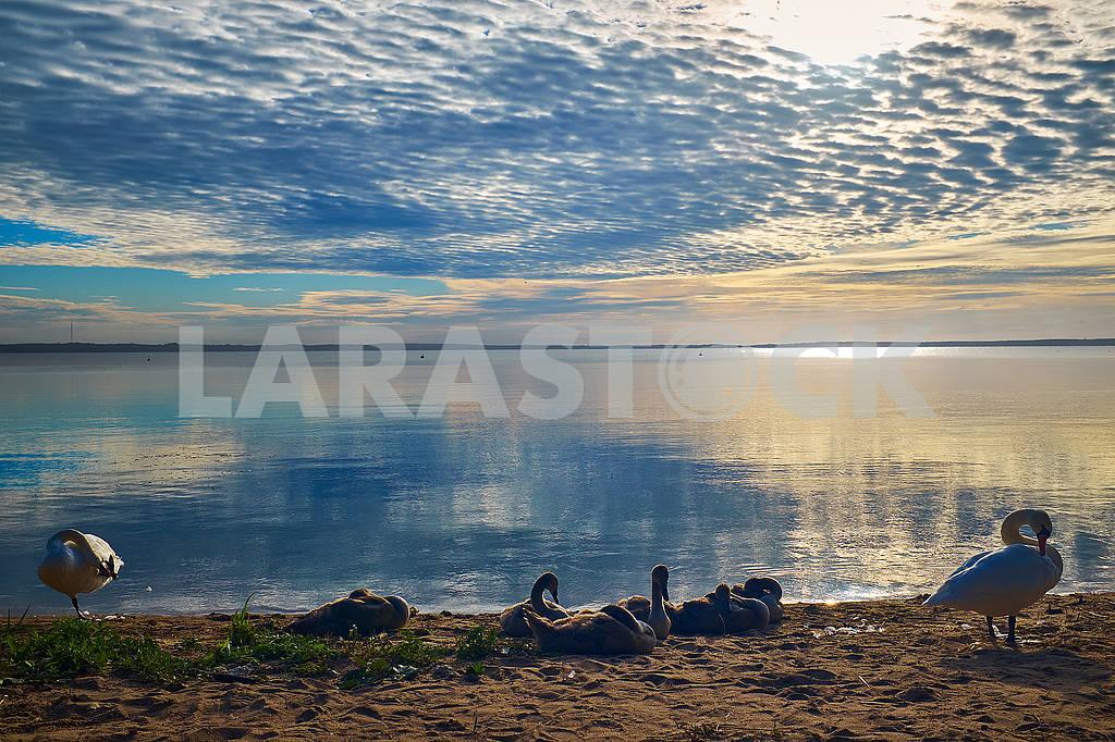 Swan family near the lake over colourful sunrise — Image 76869