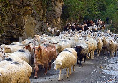 Отара баранов и овец