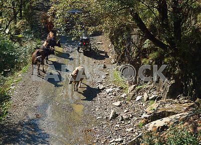 Коровы на горной дороге