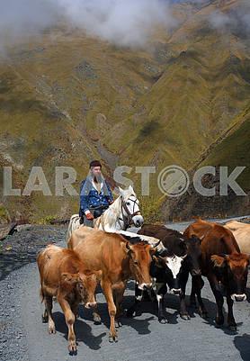 Коровы и пастух