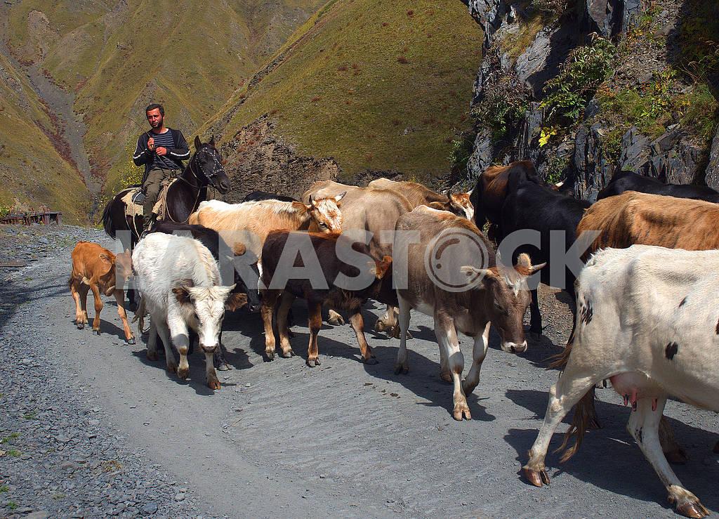 Herd of cows in the mountains — Image 77112
