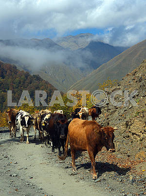 Cows on the mountain road
