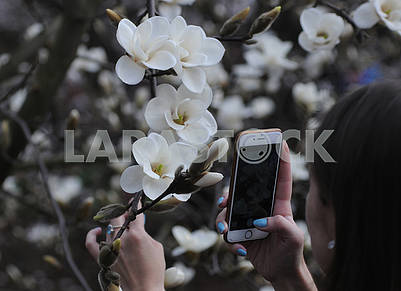 The girl takes pictures of magnolia flowers
