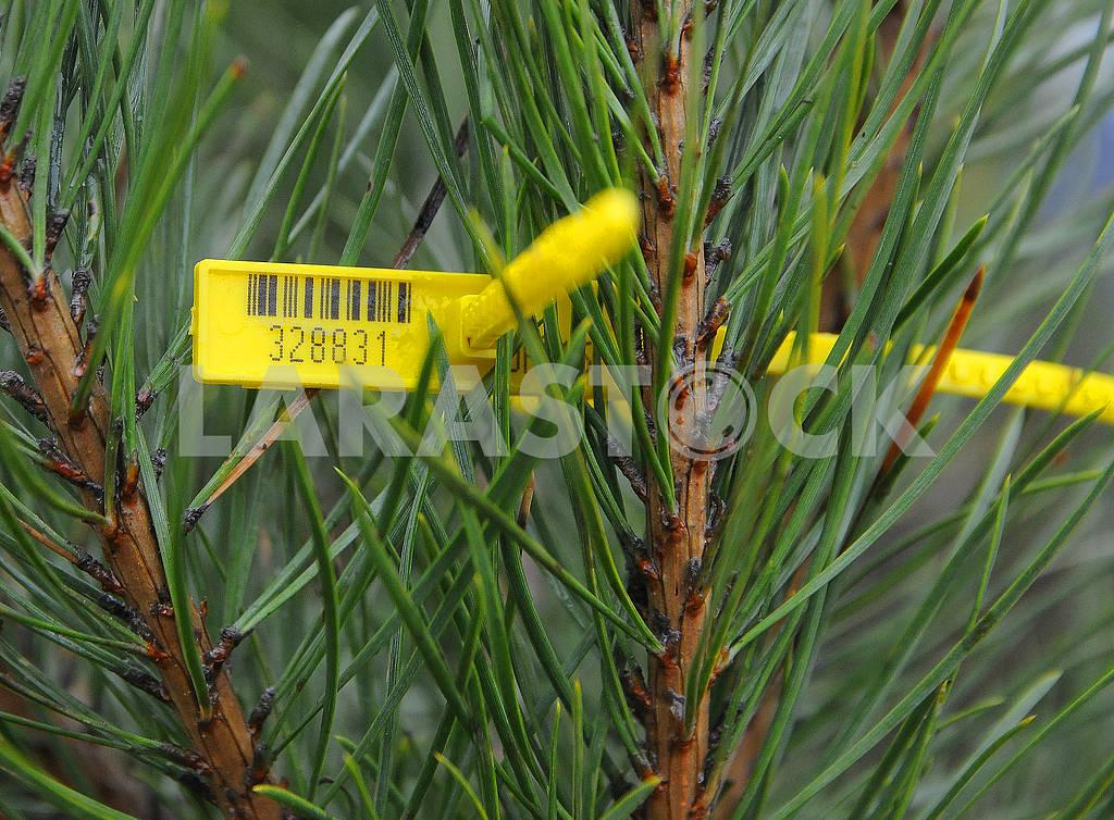 Chip on pine — Image 77676