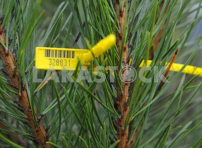 Chip on pine