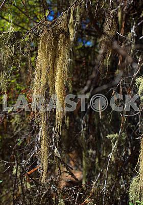 Coniferous Moss