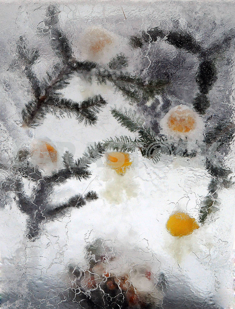 Frozen Citrus and Fir Branches — Image 77878