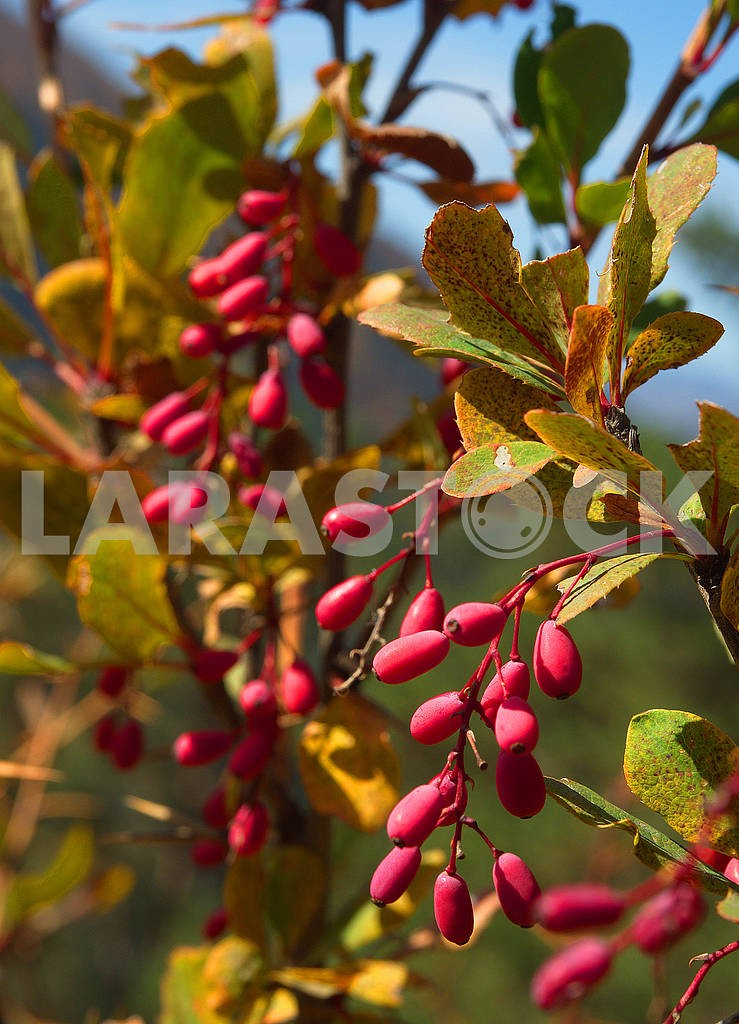 Branch of dogwood berries — Image 77901