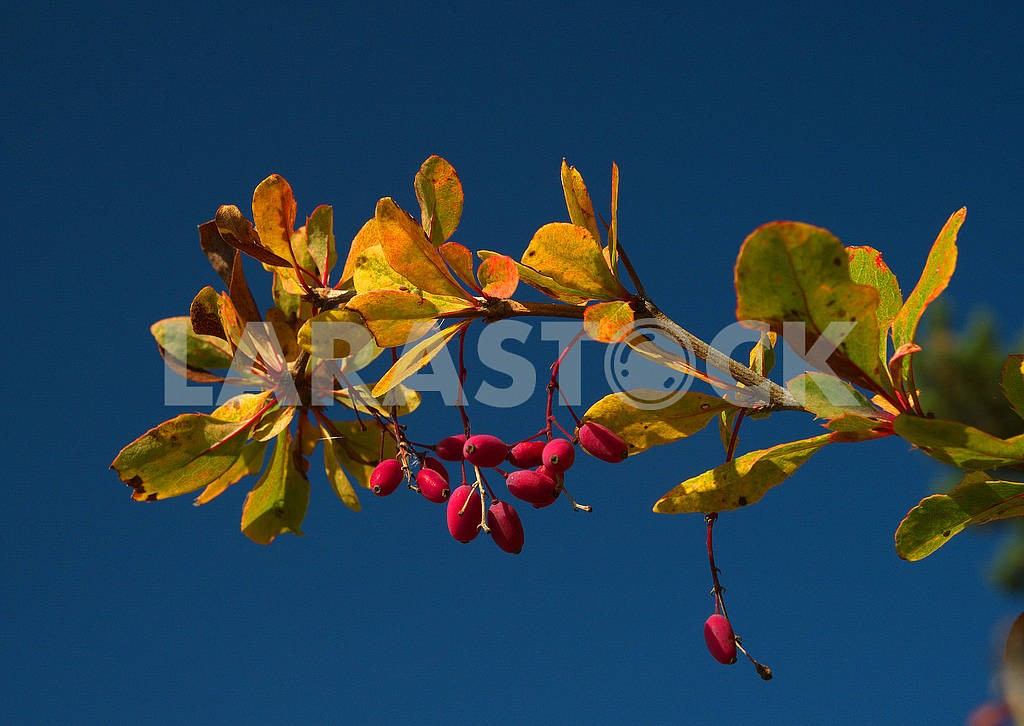 Branch of dogwood berries — Image 77903