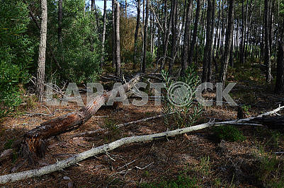 Many fallen trees in the forest