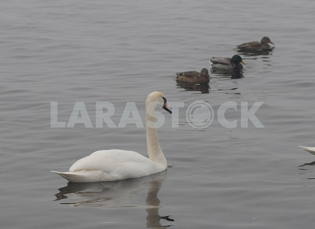 Swan and ducks on the lake — Image 78919