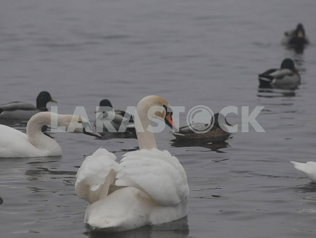 Swans on the lake ,. — Image 78921