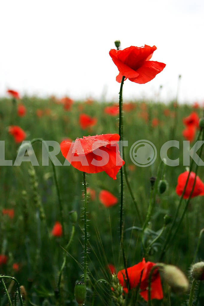 Spectacular vivid bloom close up of Poppies in Poppy field. Hello spring, Spring landscape, rural background, Copy space. Flower poppy flowering on background poppies flowers. Nature. — Image 80634