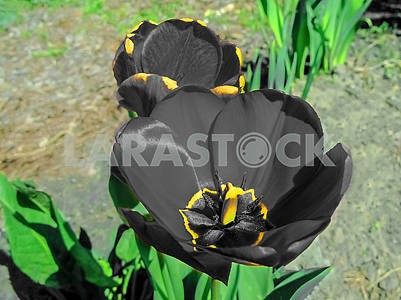 Blak tulip in the garden close-up