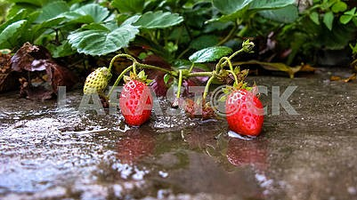 Ripe berries and strawberry leaves lie on concrete after the rai