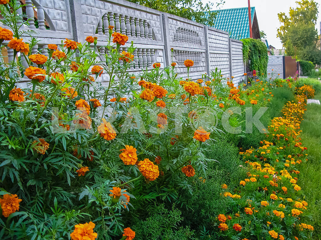 A flower bed of yellow-red flowers near the fence — Image 82241