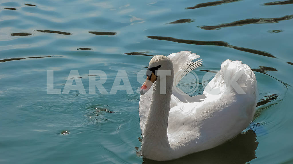 Beautiful white swan on the water — Image 82249