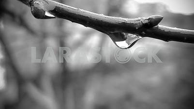 Water drop on a branch of black and white photo close-up