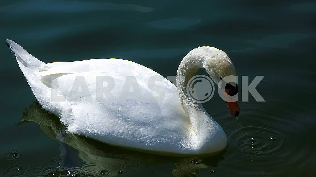 Beautiful white swan on the water close-up — Image 82330