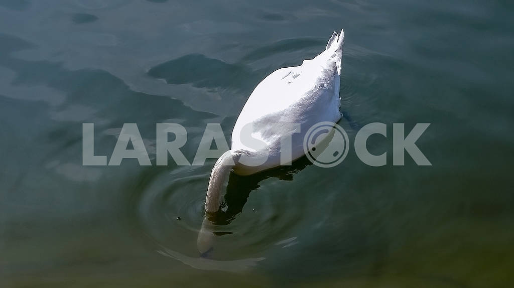 Beautiful white swan on the water close-up — Image 82331