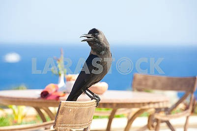 wild black raven sitting on chair closeup
