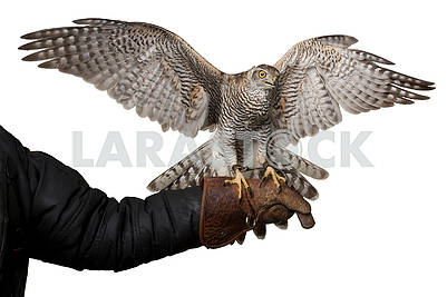 hawk  spreading wings sitting on leather glove, isolated on whit