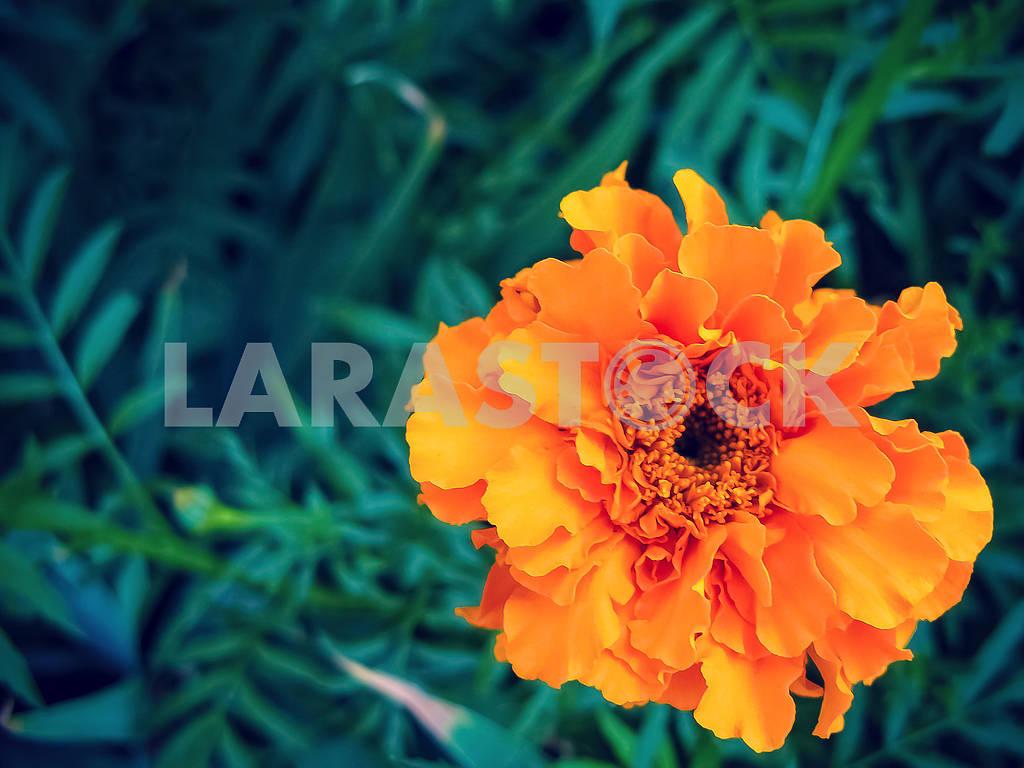 Бархатцы мелкоцветные, оранжевый цветок крупным планом на фоне зеленых листьев — Изображение 82603