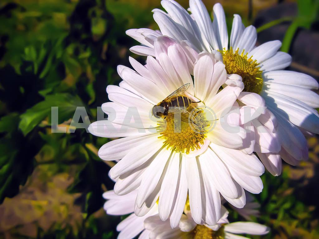 Белые ромашки и пчела — Изображение 82606