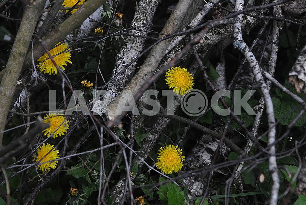 Одуванчики в лесу. вид сверху — Изображение 82848