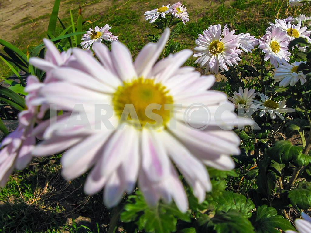 Белые ромашки и пчелы — Изображение 83151