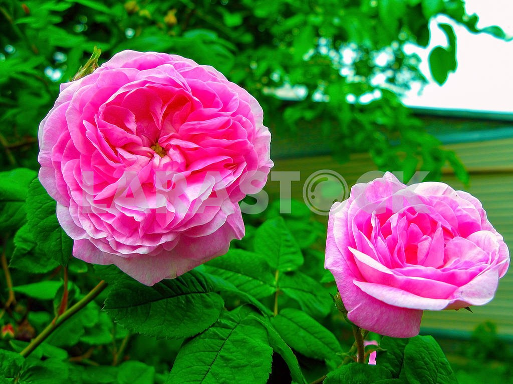 Tea rose flowers — Image 83200