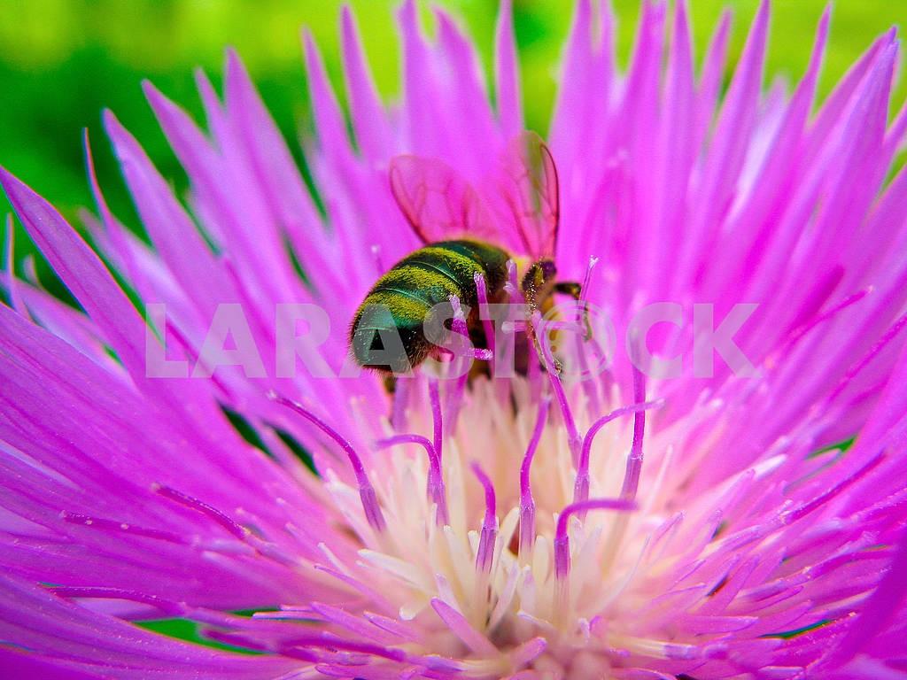 Purple Cornflower and bee — Image 83208