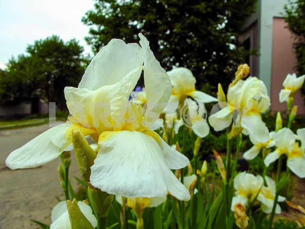 Iris flowers close up — Image 83211